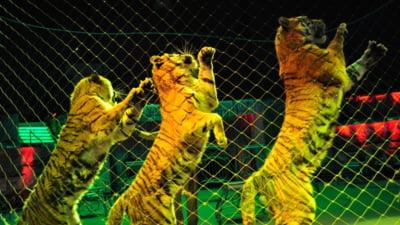 Angajatii Circului Globus: Animalele sunt tratate foarte bine. Mai bine nu se poate. Fara ele circul va muri