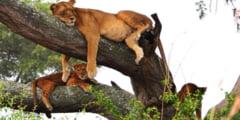 Animale rebele, care incalca regulile speciei din care fac parte. Leoparzi care dau de mancare hienelor?