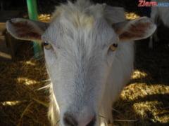 Animalele cu job la aeroport - de la caprele peisagisti, la soimii controlori de trafic