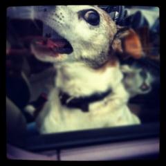 Animalele de companie, transportate doar in custi in masina? - proiect de lege