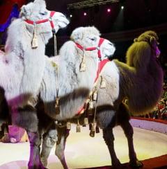 Animalele salbatice ar putea fi interzise in circurile din Bucuresti