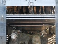 Animals International face plangere la DNA pentru ca in nava de la Midia erau mai multe oi decat cele declarate