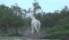 Aparitie rara: Doua girafe albe au fost filmate intr-o rezervatie naturala (Video)