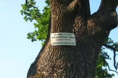 Apel pentru salvarea unui stejar secular