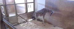 "April, girafa vedeta, va trebui sa spuna ""adio"" maternitatii"