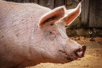 Aproape 1.000 de focare de pesta porcina africana, cu doua luni inainte de Craciun