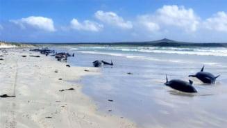 Aproape 100 de balene au murit dupa ce au esuat in masa, in Pacific