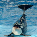 Aproape 400 de balene au murit dupa ce au esuat intr-un golf din care nu au mai putut iesi. Efoturi uriase pentru salvarea a 20 de balene ramase in viata