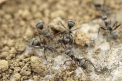 Aproape un milion de furnici prinse intr-un buncar au devenit canibale pentru a supravietui