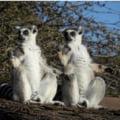 Arma secreta a lemurienilor cand vine vorba de imperechere