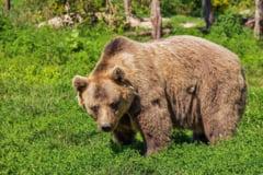 Astazi este Ziua ursului - traditii si obiceiuri la romani