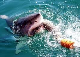 Australienii, terorizati de atacurile rechinilor (Video)