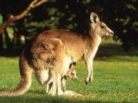 Australienii au liber la carnea de cangur