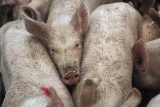 Autoritatile din Calarasi nu i-au dat nici macar o amenda barbatului care a impartit in oras 70 de porci suspecti pesta