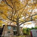Autoritatile din Toronto, Canada, vor sa salveze un stejar secular cu mare insemnatate istorica si ecologica