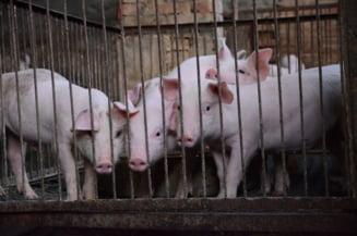 Autoritatile romane, vinovate de criza pestei porcine si pierderile uriase? UE ne-a avertizat anul trecut si stiam exact ce aveam de facut