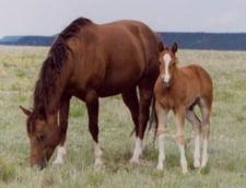 Autoritatile vor sa faca tarcuri pentru caii salbatici de la Letea