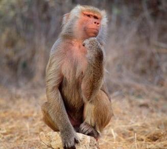 Avem acelasi numar de neuroni ca babuinii