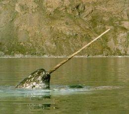 Balena cu corn, pe cale de disparitie
