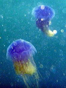 Banc de meduze colorate rare, in apele Marii Britanii
