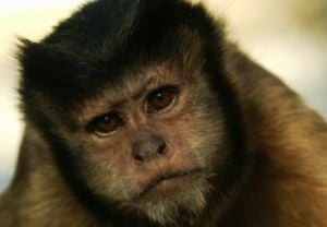 Bancherii iau aceleasi decizii pe care le-ar lua o maimuta - studiu