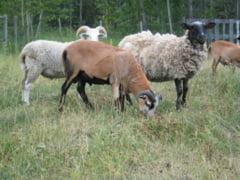 Bani pentru crescatorii de oi si capre