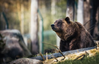 Barbat atacat de urs in Harghita. Presedintele CJ cere masuri rapide