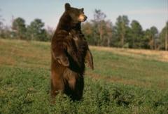 Barbat atacat de urs in Pasul Tihuta