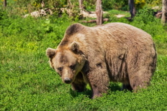 Barbat atacat de urs in judetul Harghita. Victima are rani la nivelul fetei