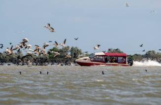 """Barcagiul """"fara suflet"""" care a lovit un stol de pelicani in Delta raspunde penal. Firma care detine salupa a refuzat sa prezinte actele"""