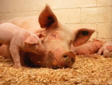 Bilant pesta porcina - peste 1.000 de focare in 15 judete si despagubiri de 99 milioane lei