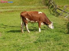 Bloomberg: Vacile din SUA sunt hranite cu porumb romanesc