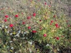 Botosaniul are cea mai mare plantatie de macese din Europa