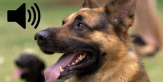 Brailean crescator de caini, amendat din cauza latraturilor care deranjau vecinii