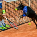 Brazilienii prezinta cainii de mingi din tenis (Foto)