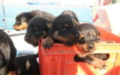 Britanicii se tem acum de cainii turbati din Romania