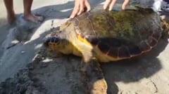 Broasca testoasa uriasa, unica in Romania, descoperita pe litoral (Video & Foto)