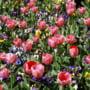 Bulbii de flori din Olanda nu au organisme de carantina - rezultat analize