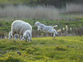 Buzau: Zeci de oi si capre surprinse de o viitura, salvate de jandarmi (Video)