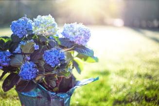 Când băgăm ghivecele de flori în casă. Momentul optim pentru plante VIDEO