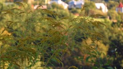 Cât de periculoasă este ambrozia, planta alergenă care afectează sute de mii de români. 10 lucruri care pot salva viața