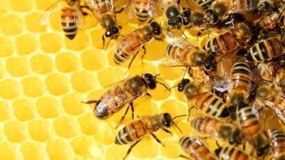 CE interzice Romaniei sa acorde autorizatii de urgenta nejustificate pentru pesticide care ar putea afecta albinele