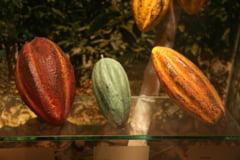 Cacao criollo: Proprietati si Beneficii