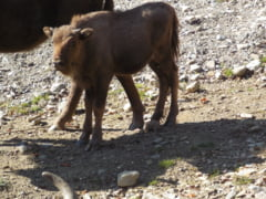 Cainii salbaticiti fac victime in randul zimbrilor din Romania - Sunt mii in toata tara. Cine e in pericol Interviu