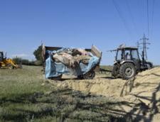 Camionul cu porci descarca lesurile direct in groapa care nu e izolata cu folie