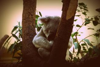 Cand instinctul matern e mai presus de toate: Cum a salvat un golden retriever un pui de koala