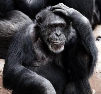 Cand ne-am despartit de cimpanzei? Un studiu arata ca mult mai tarziu decat se credea