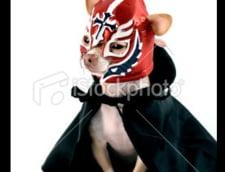 Candidatul chihuahua are succes pe Internet