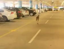 Cangur ratacit in parcarea unui aeroport din Melbourne, Australia