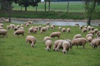Care e valabilitatea spermei congelate? Experiment inedit cu un berbec si 56 de oi